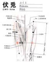 伏兔-解剖图