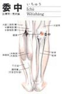 委中-解剖图