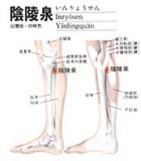 阴陵泉-解剖图