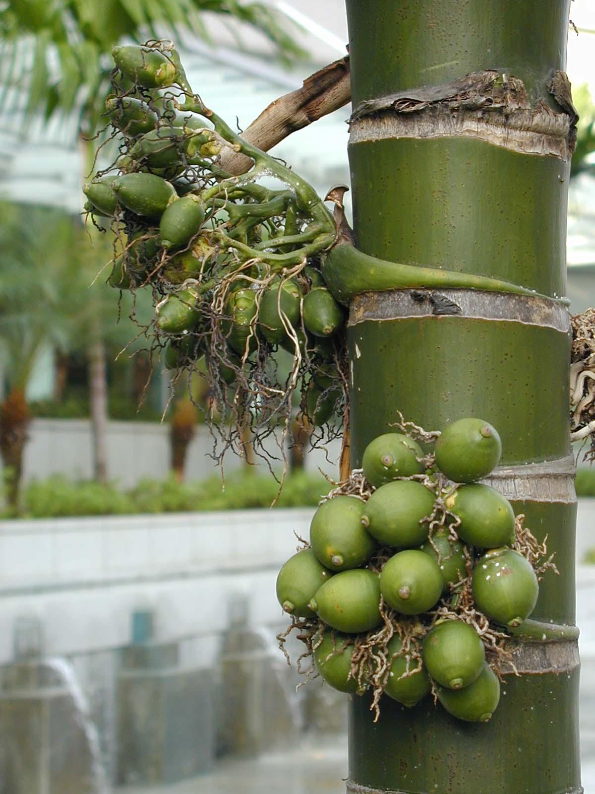 槟榔是什么有什么作用 槟榔有什么作用 经常吃槟榔有什么危害图片