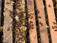 蜂蜜-原态