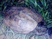 龟甲-原态