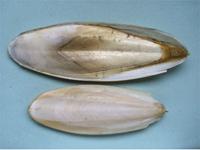 海螵蛸-药材
