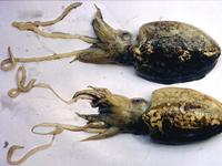 海螵蛸-原态
