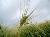 麦芽-原态
