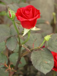 玫瑰花-原态