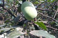 木瓜-原态