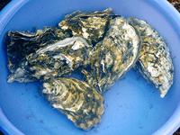 牡蛎-原态