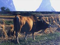 牛黄-原态