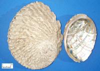 石决明-药材