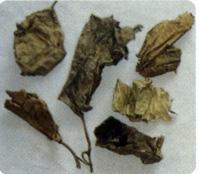 石楠叶-药材