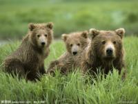 熊胆-原态