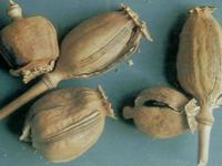 罂粟壳-药材