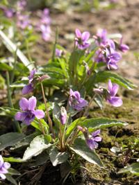 紫花地丁-原态