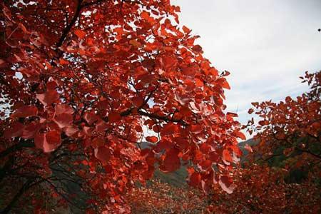 风叶树图片大全